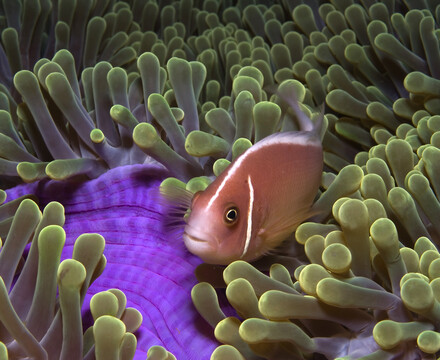 A pink anemonefish (Amphiprion perideraion) snuggles among an anemone in the tropical waters off Papua New Guinea during the filming of the IMAX film Under the Sea.